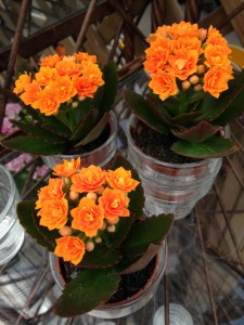 succulent with orange flowers