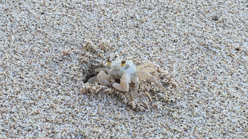 ghost crab in hawaii sitting at entrance of tunnel in sand