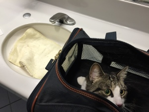 cat in carrier by sink with mat being washed