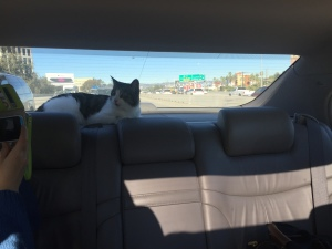 cat sitting in back window of car driving on freeway