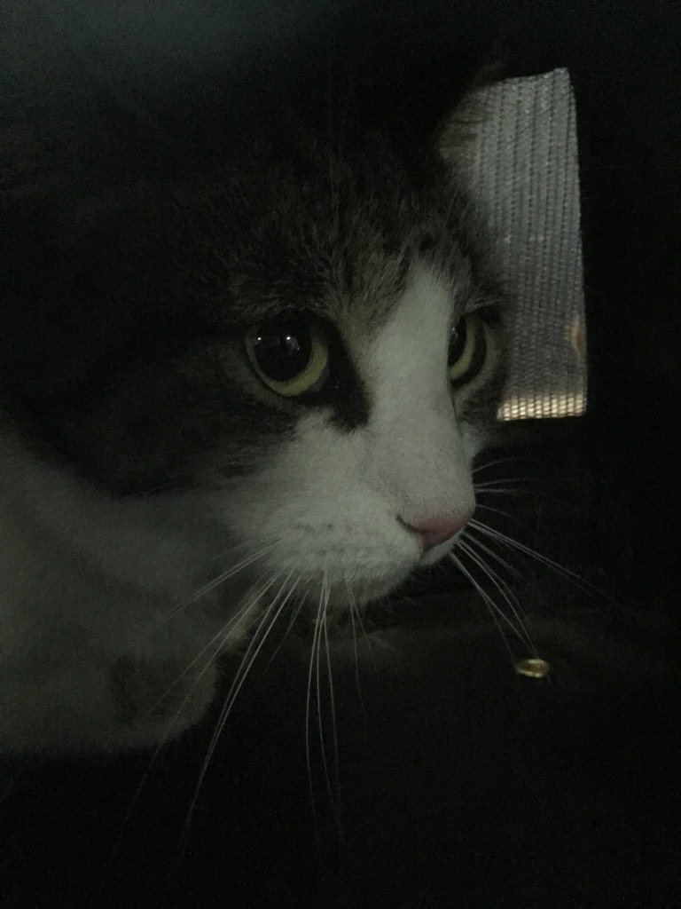 cat sitting in carrier for plane ride