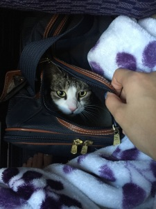cat face peeking out of carrier on plane