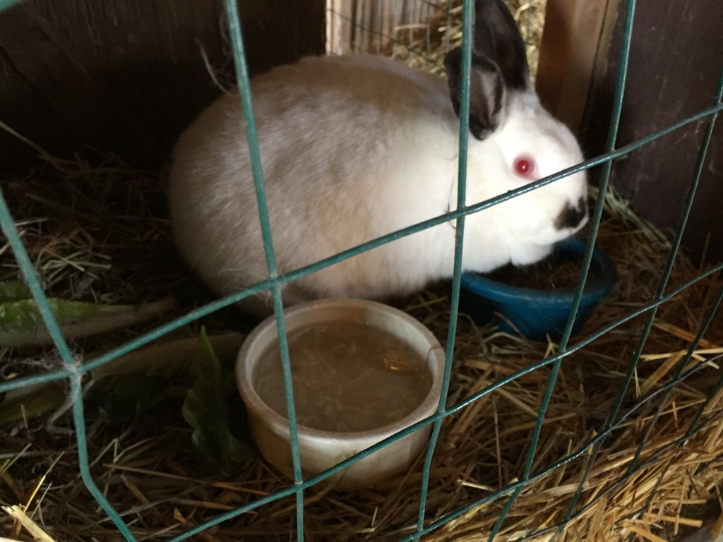 white rabbit with black accents in cage with frozen bowl of water
