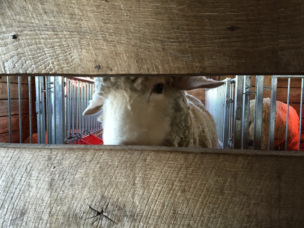 sheep staring through wooden fence