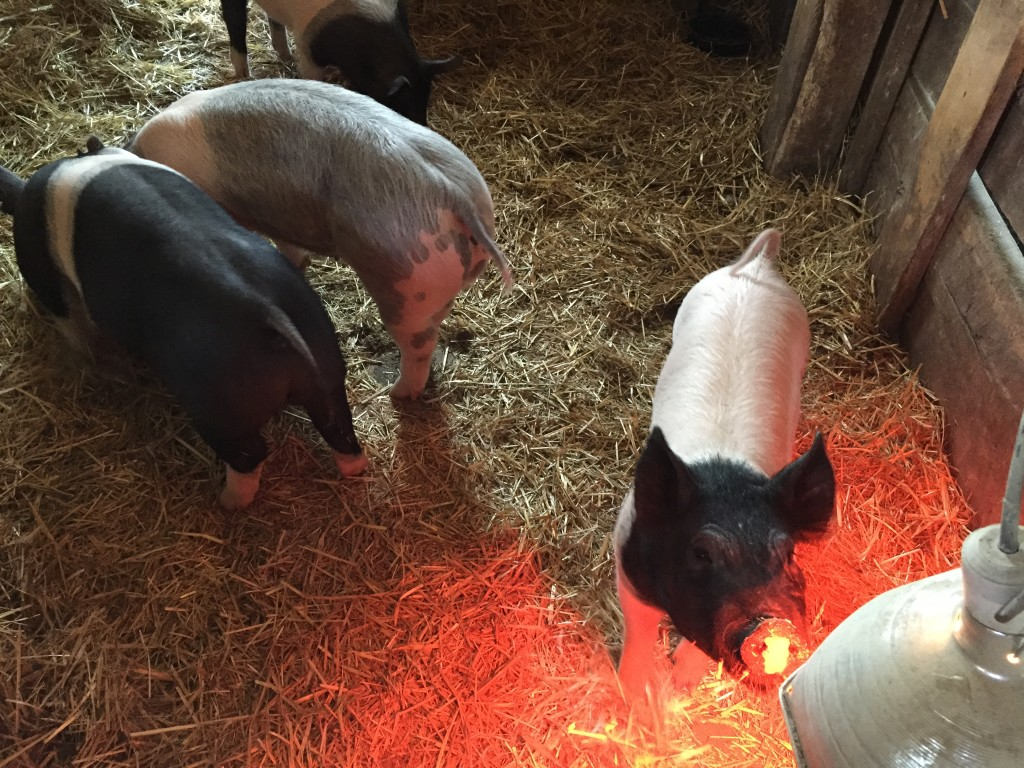 three pigs in stall with hay and heat lamp for winter cold