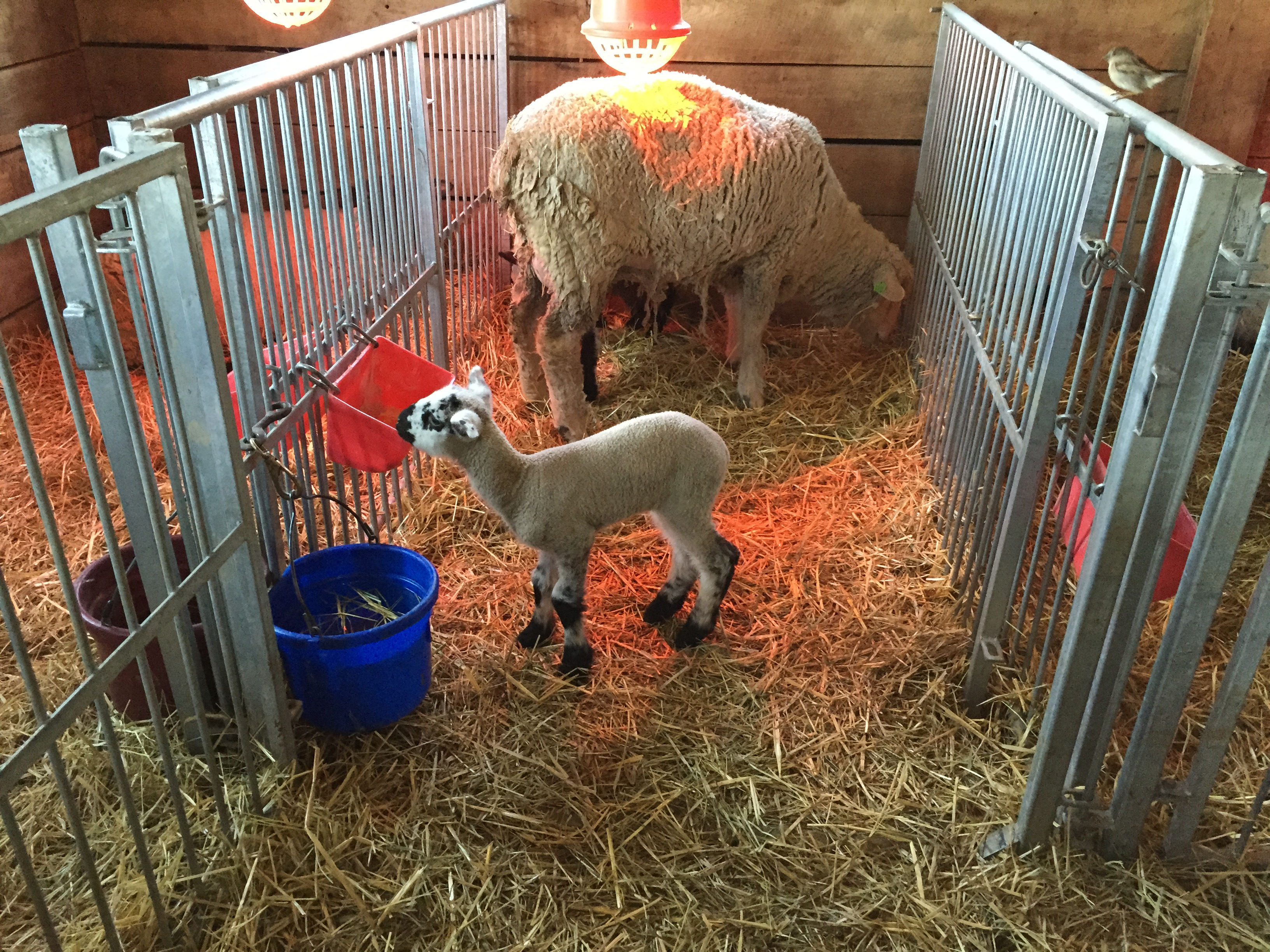 Sheep Mama With Baby Lambs In Stall Inside Barn
