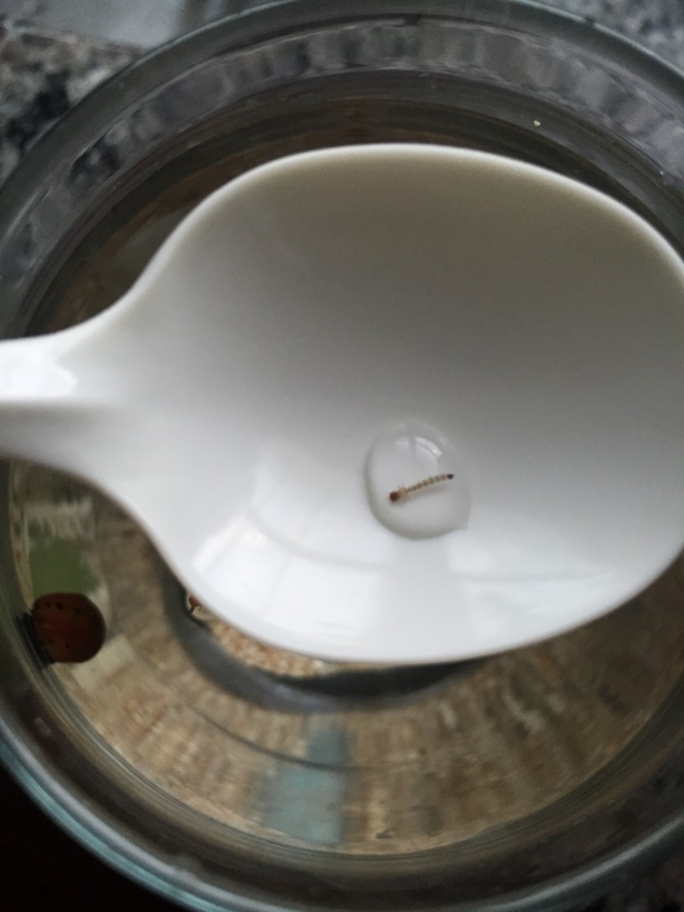 hawaiian red shrimp larva in spoon