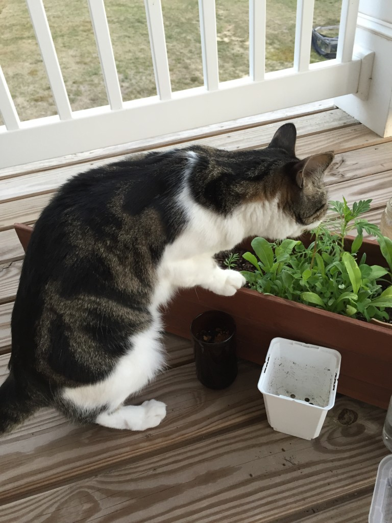 cat standing on planter eating plant