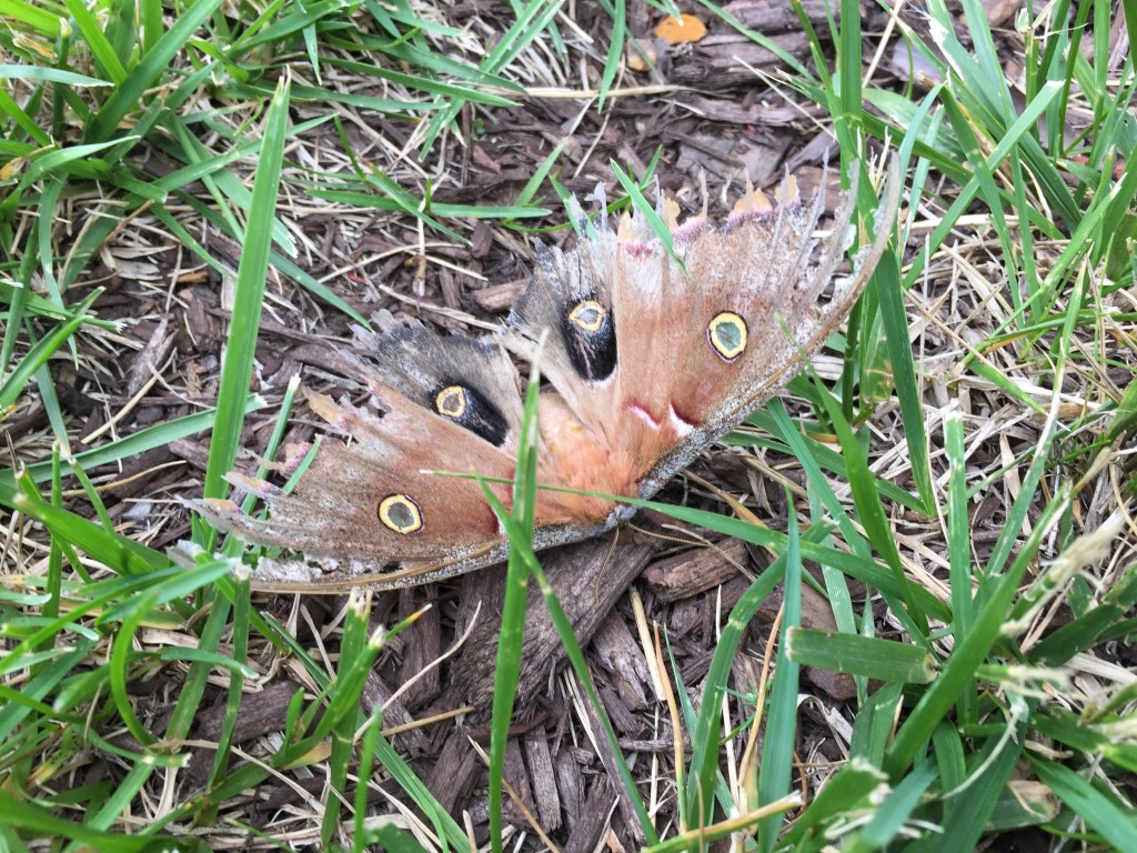 giant polyphemus moth on grass