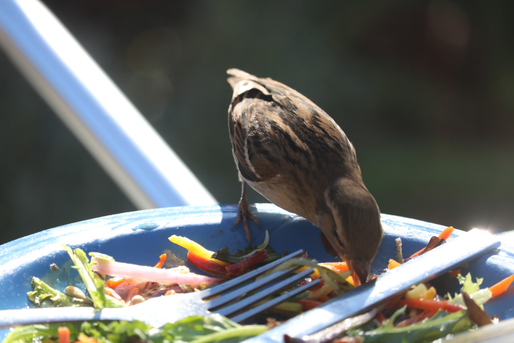hungry bird eating salad off plate
