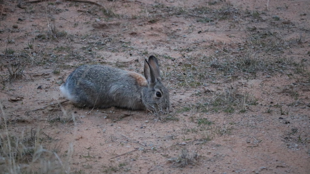brown bunny eating grass at arches national park